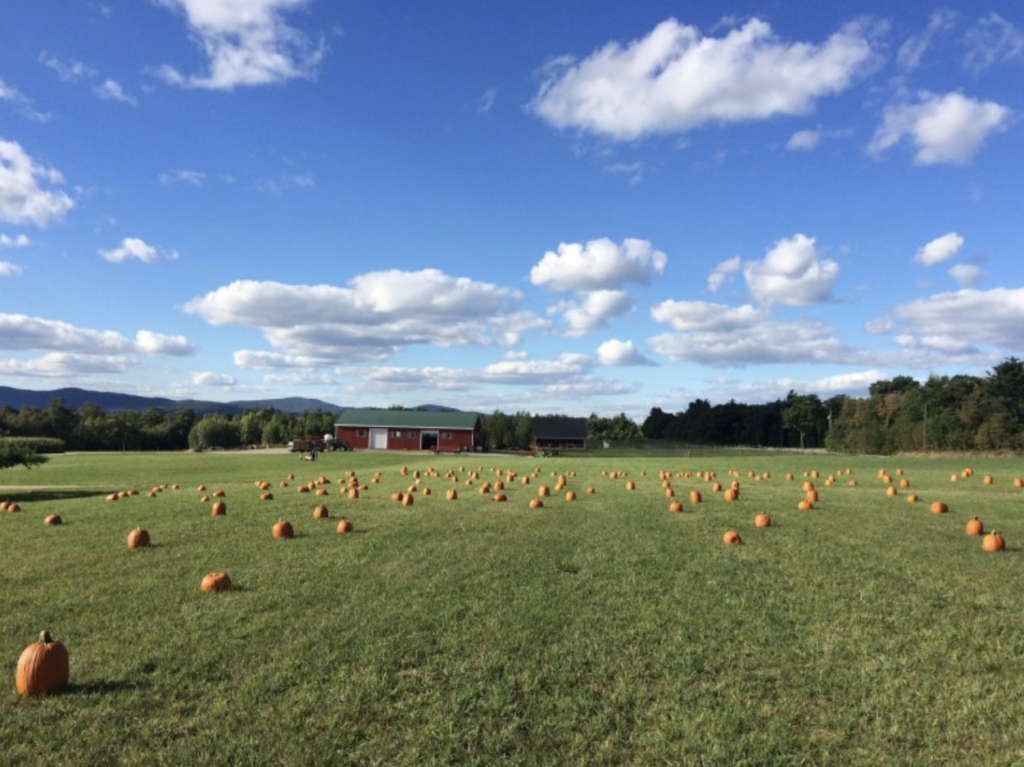 Field with punpkins