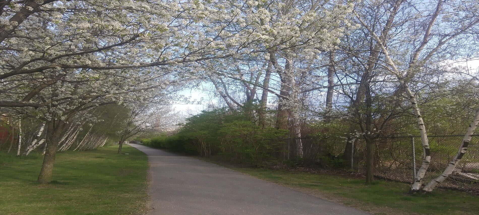 Flowering trees line both sides of a paved path