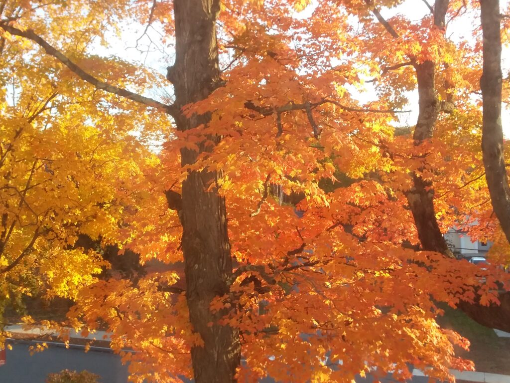 Autumn colors - maple trees with bright orange leaves