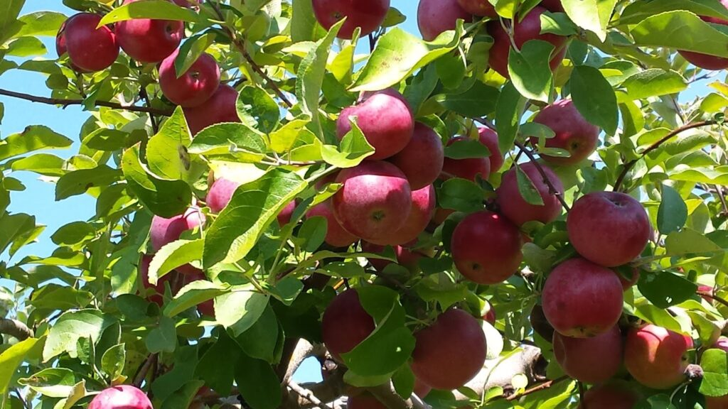 An apple tree with red apples