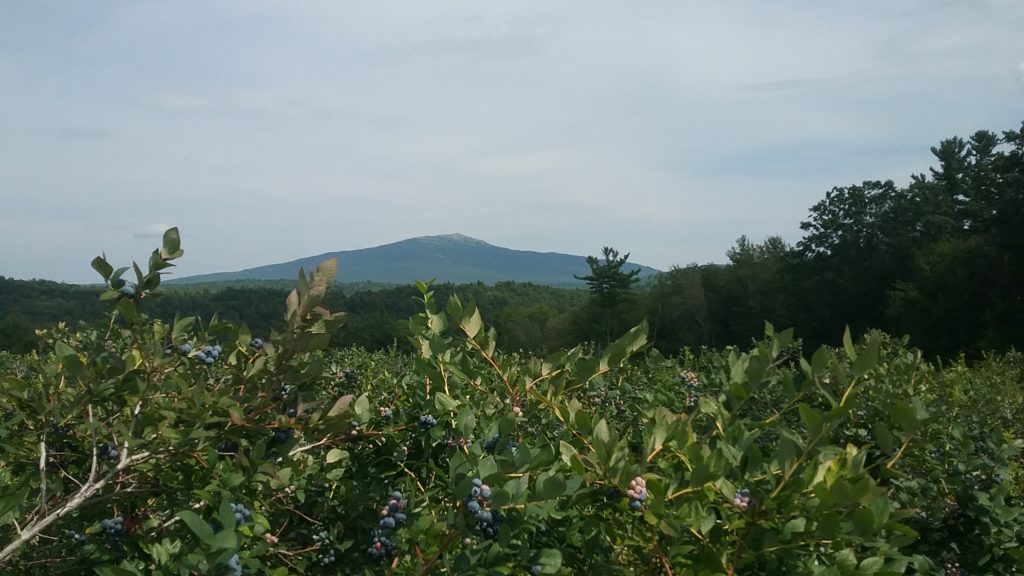 Abundance of blueberry bushes at Monadnock Berries, with a view of Mt. Monadnock