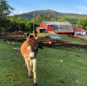 Mule in front of barn at East Hill Farm with Mt. Monadnock in the background