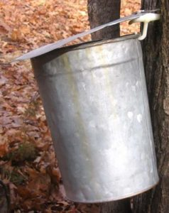 tin bucket hanging on maple tree to collect sap