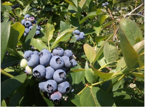 plump blueberries growing on a bush at Monadnock Berries