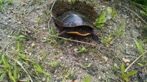 Turtle seen on the Cheshire Rail Trail