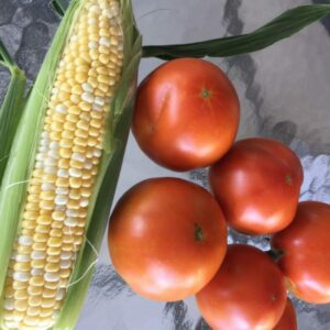 Farm fresh corn on the cob, partially husked, and fresh ripe tomatoes