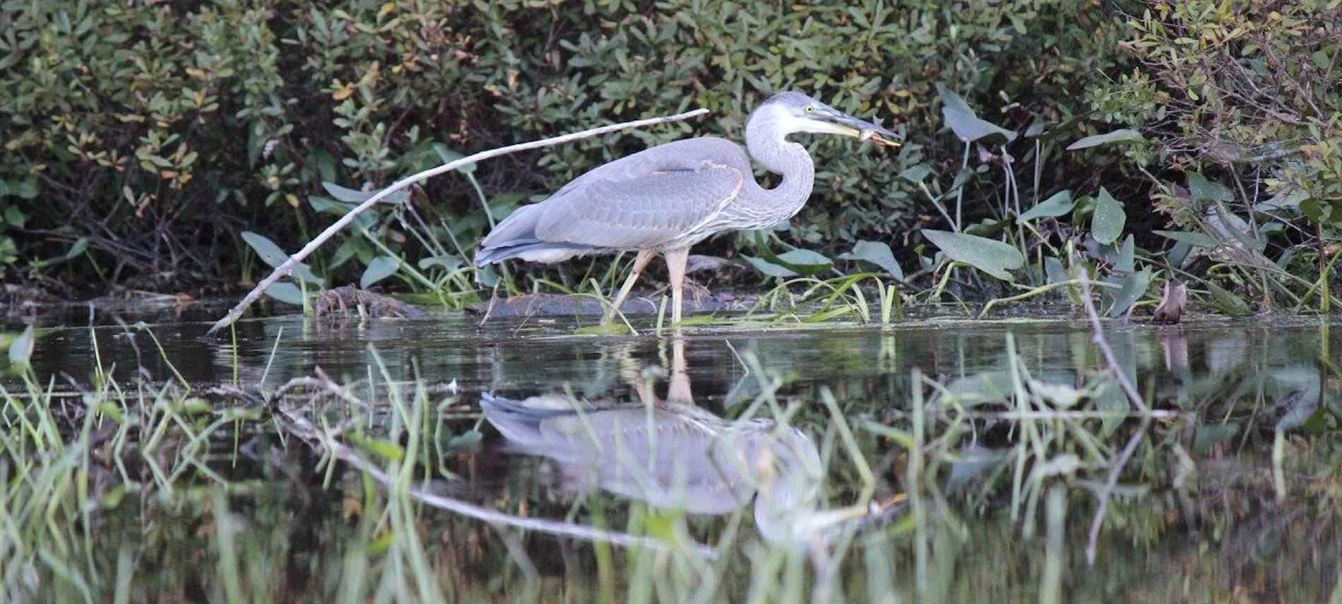 Blue Heron wading through water surrounded by greenery