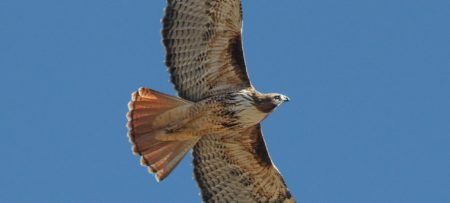 A red tailed hawk with white and brown wings outstretched against a blue sky