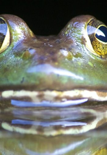 Close-up view of a green frog half out of the water